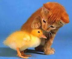 12 Best Kittens and <b>ducks</b> images | Kittens, Baby <b>animals</b>, <b>Cute</b> ...