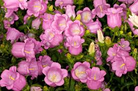 Campanula medium 'Champion Pink' (Canterbury Bells)