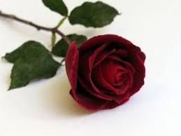 Resultado de imagen de fotos de rosas rojas
