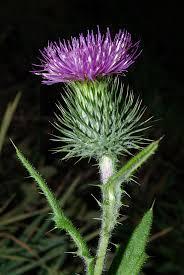 Carduus acanthoides - Wikipedia, la enciclopedia libre