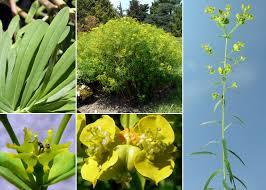 Euphorbia esula L. subsp. tommasiniana (Bertol.) Kuzmanov - FVG