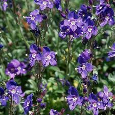 VERONICA FRUTICANS SEEDS (Rock Speeedwell) - Plant World ...