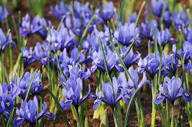 Iris '<b>Harmony</b>' (Dwarf Iris)