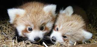 """Résultat de recherche d'images pour """"Panda roux bébé naissance"""""""