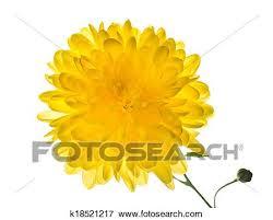 Yellow <b>chrysanthemum</b> is isolated on white background Stock Photo ...