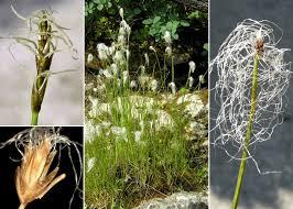 Trichophorum alpinum (L.) Pers. - Sistema informativo sulla flora ...