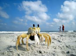 Image result for small crab in beach