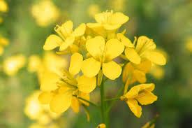 , درمان طبیعی افسردگی: داروی باک گل