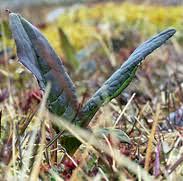 Saussurea alpina - The Flora of Svalbard