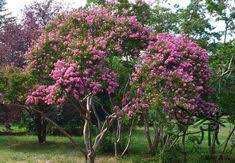 Tree <b>Seeds Bauhinia</b> Purpurea, Phanera Purpurea <b>Seed</b>, Bonsai ...