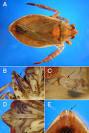 family belostomatidae