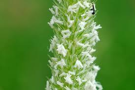 Phleum ambiguum (Phleum hirsutum subsp. ambiguum) - Pallano