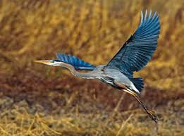 Image result for blue heron