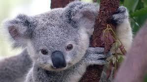 koala ¨¨ ^^ := =) Images?q=tbn:ANd9GcQf8uc55tbXAL71vUr4NyYURDr2nToj0-qiEiY5UmBb1hdkrgcKKg