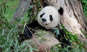 Giant <b>Panda</b> Cam | Smithsonian's National Zoo