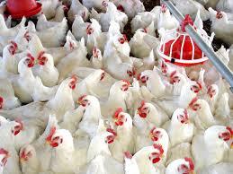Resultado de imagen para pollos