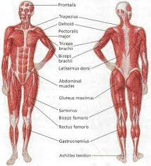 muscle chart diagram   aof commuscle chart diagram human anatomy anatomy muscle chart diagram tables anatomy