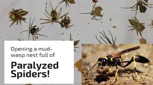 Mud wasp catches over 25 spiders for her nest! - YouTube