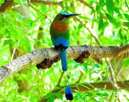 El Torogoz ave nacional de mi país ( ES, El Salvador, +503 ) Images?q=tbn:ANd9GcQfPqoPjeRX4UDphlPnZC_eDpN8sZajYTfXF4B_G5bWeghHGmPJ
