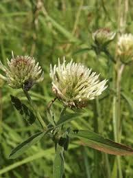 Trifolium ochroleucum Huds. | Naviga la Flora | Flora Modena