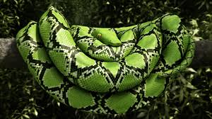 Image result for boa constrictors