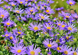 Asters: How to Plant, Grow, and Care for Aster <b>Flowers</b> | The Old ...