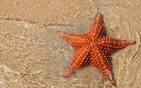 Resultado de imagem para estrelas do mar