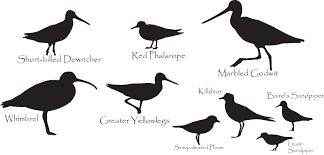 Image result for free image shorebird