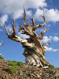 Resultado de imagen para árboles viejos