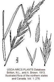 Bromus erectus - Online Virtual Flora of Wisconsin