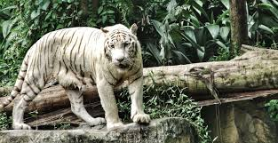 winnie jippie and omar trotternama medium white tigers have always been a topic of curiosity and admiration perhaps it is their pigmentation or lack thereof or rampant inbreeding or be their
