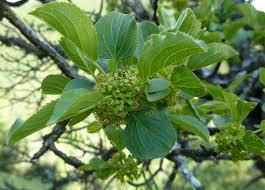 Rhamnus (genus) - Wikipedia