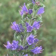 Echium vulgare (common viper's-bugloss): Go Botany