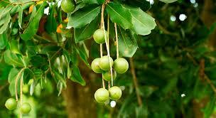 「マカダミアの木」の画像検索結果