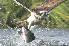 Image result for balık kartalı