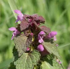 Lamium purpureum - Wikipedia