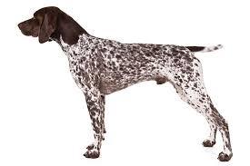 <b>German</b> Shorthaired Pointer Dog Breed Information