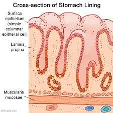 Image result for lining of the stomach