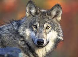 <b>3</b> dead <b>wolves</b> found dumped <b>in</b> northern Minnesota ditch; poaching ...