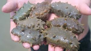 Image result for sea cucumber