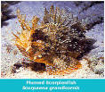 Images & Illustrations of plumed scorpionfish