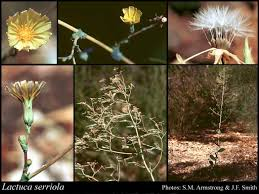 Lactuca serriola L.: FloraBase: Flora of Western Australia