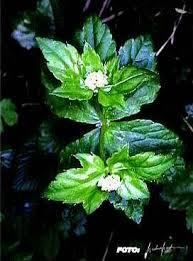 Petagnaea gussonei - Wikipedia