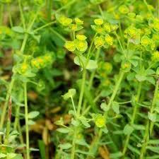 Euphorbia portlandica | Online Atlas of the British and Irish Flora