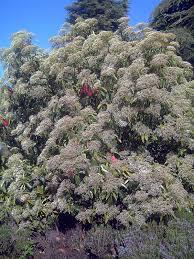 Photinia serratifolia - Wikipedia