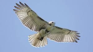 Image result for how raptor soaring