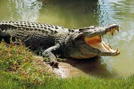 10 amazing saltwater crocodile facts - Discover Wildlife