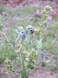 Cynoglossum creticum - Wikipedia, la enciclopedia libre