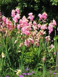 African corn lilies