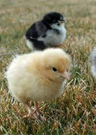 How to Raise Baby <b>Chicks</b> - A Beginners Guide with pictures!